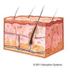 Skin Tissue Model