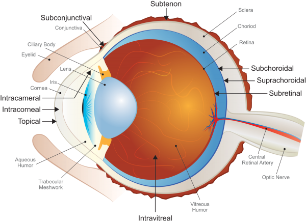 Ocular Model, Absorption Systems