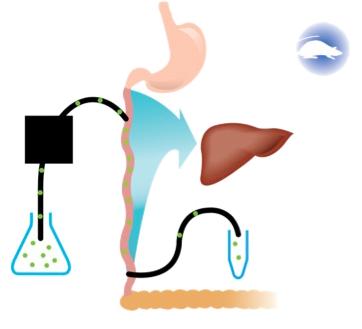 Rat Intestinal Perfusion Diagram