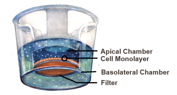 caco-2 cells are a industry standard for intestinal permeability studies