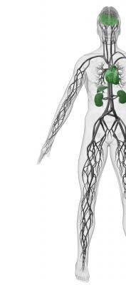 biodistribution throughout body